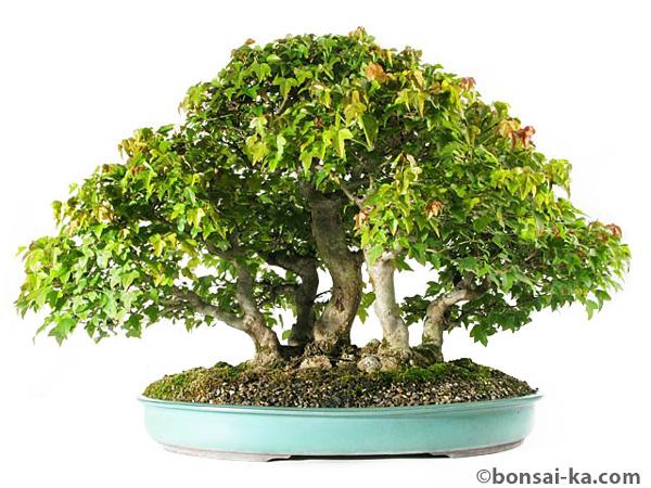 Bonsai de bonsai-ka